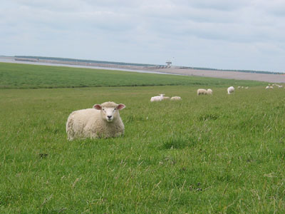 Schafe am Eidersperrwerk